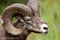 Bighorned Sheep