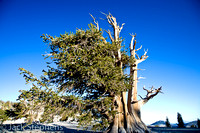 Bristelcone Pines