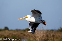 American White Pelican and Bonapartes Gull