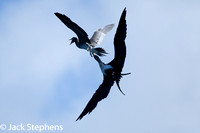 Greater Frigatebird attacking Brown Booby