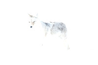Coyote Ghost