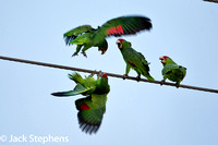 Red-fronted Parrots