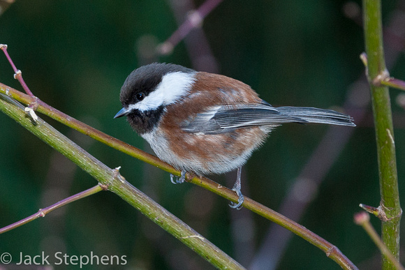 Chestnut-bacled Chickadee