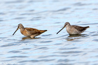 Short-billed and Long-billed Dowitchers
